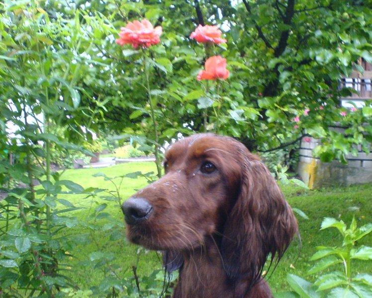 podívej... kvete růže